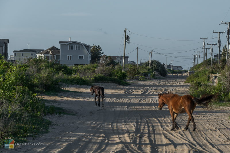 Corolla Wild Horses - Photos, Tours and Info - OuterBanks.com