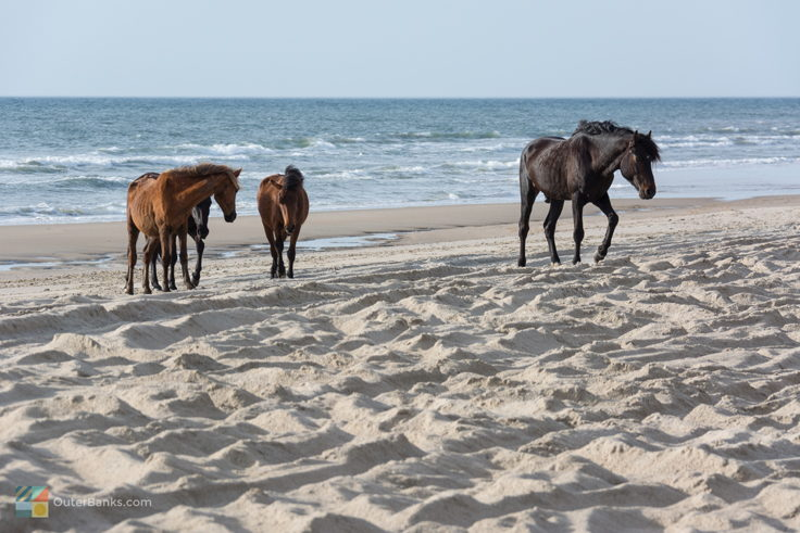 Corolla Wild Horses - Photos, Tours and Info - OuterBanks com