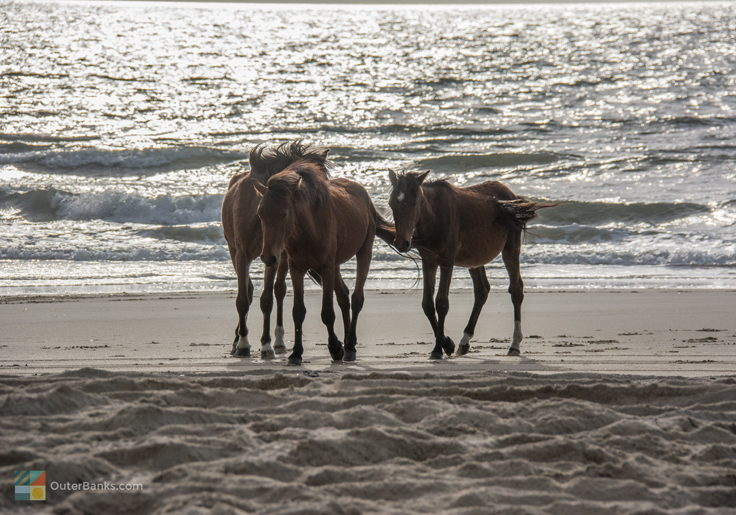Wild Spanish Mustangs of Corolla
