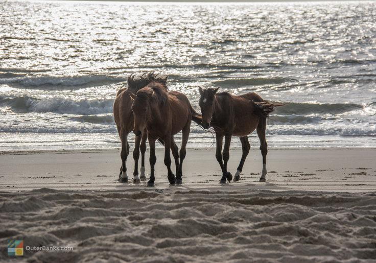 Corolla's Wild Spanish Mustangs