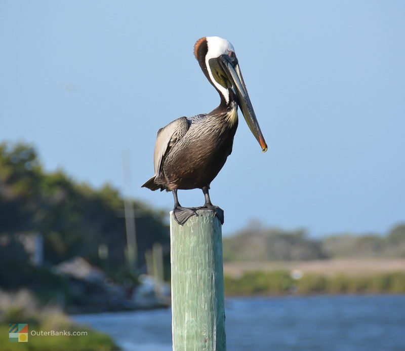 A pelican perches on a pier in Hatteras Village