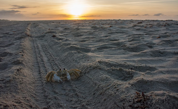 Ghost crab at sunrise