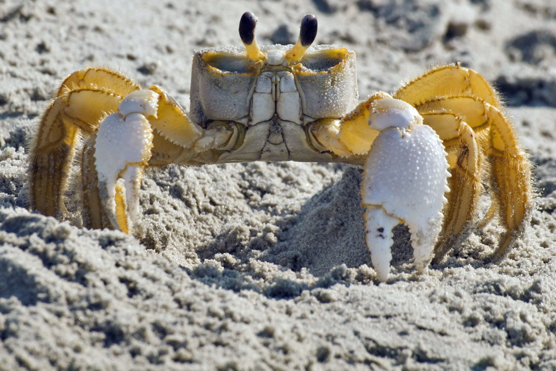 Ghost Crabs and Ghost Crabbing - OuterBanks.com