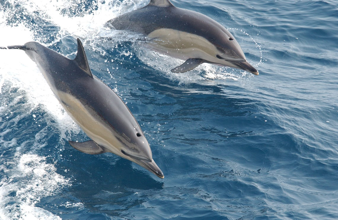 Outer Banks Dolphin Guide - OuterBanks.com